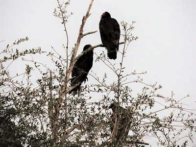 Turkey Vultures (9)