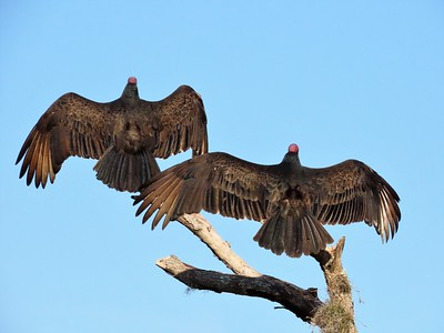 Turkey Vultures (7)