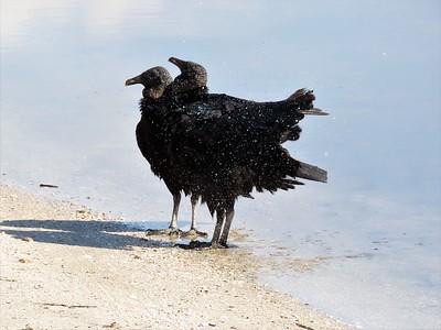 Black Vultures (2)