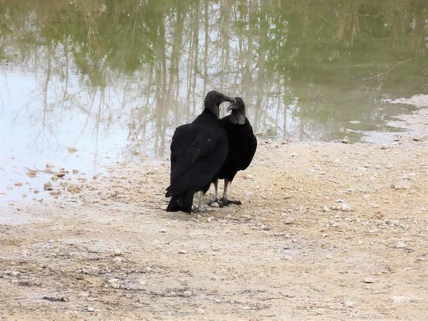 Black Vultures (9)