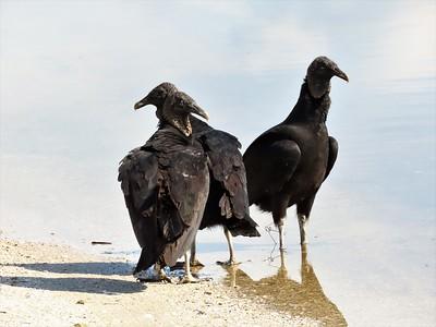 Black Vultures (3)