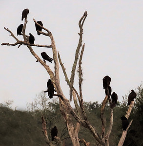 Turkey Vultures (10)