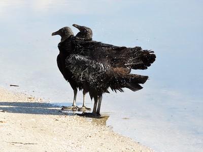 Black Vultures (1)