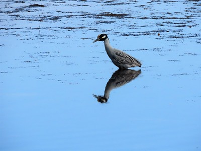 Yellow-crowned Night Heron (2)