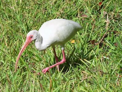 American White Ibis  (2)