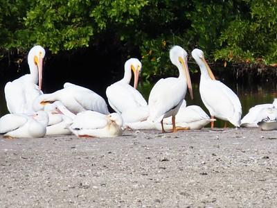 White Pelican (1)