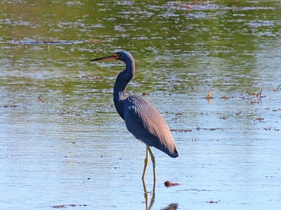 Tri-colored Heron (1)