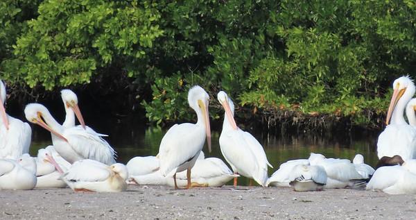 White Pelican (3)