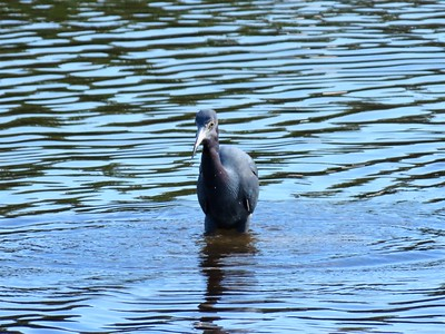 Little Blue Heron (1)