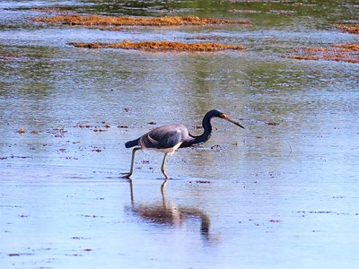 Tri-colored Heron (2)