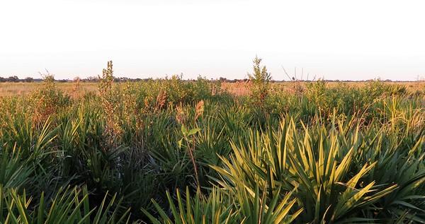 Kissimmee Prairie Preserve SP, FL (13)