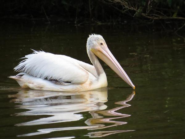 American White Pelican (1)