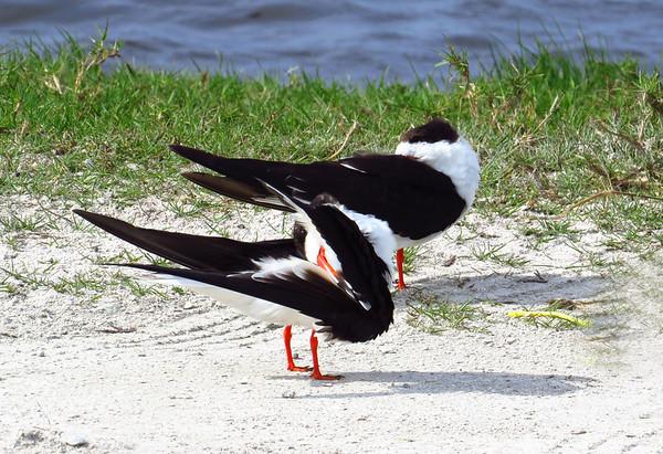 Black Skimmer (2)