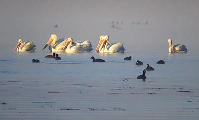 American White Pelican (7)