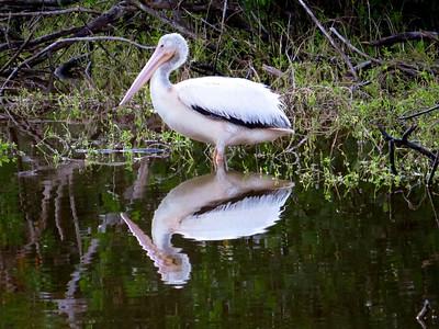 American White Pelican (4)
