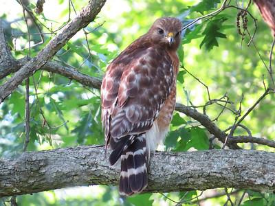 Broad-winged Hawk (1)