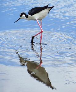 Black-necked Stilt (3)