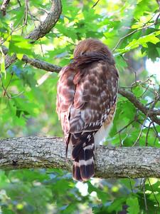 Broad-winged Hawk (3)