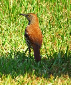 Brown Thrasher (1)