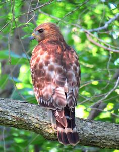 Broad-winged Hawk (2)