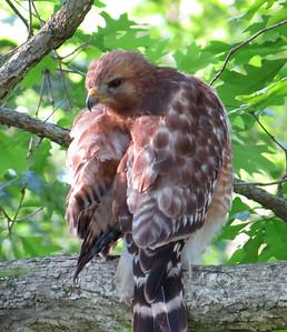 Broad-winged Hawk (4)