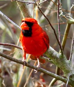 Cardinal (Crooked River State Park, GA)