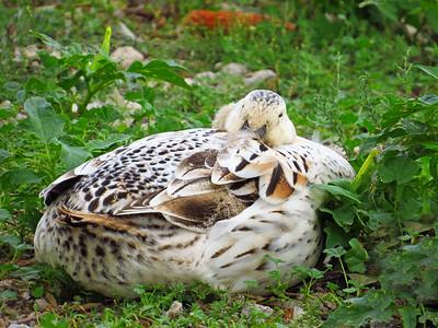 Duck (18)