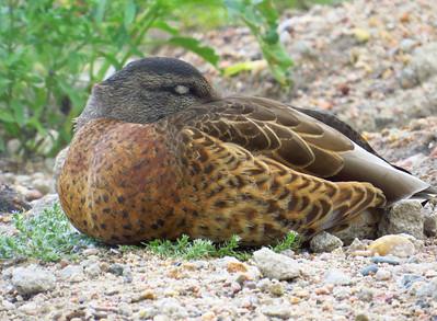 Duck (14)