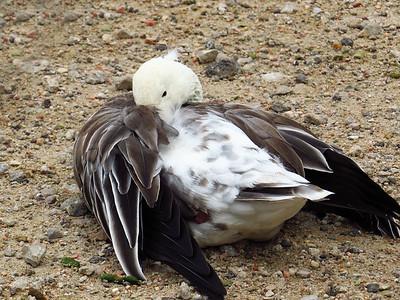 Duck (12)