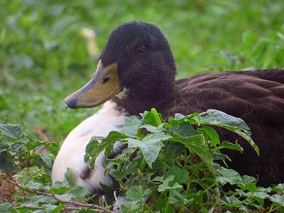 Duck (17)