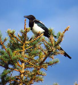 Black-billed Magpie (1)