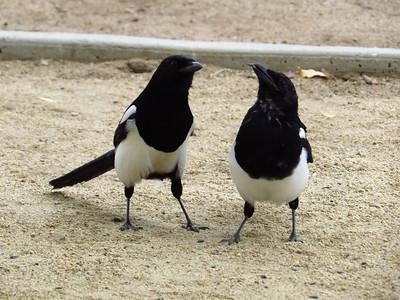 Black-billed Magpie (4)