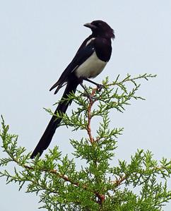 Black-billed Magpie (2)