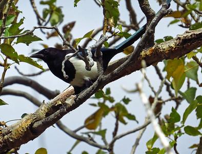 Black-billed Magpie (3)