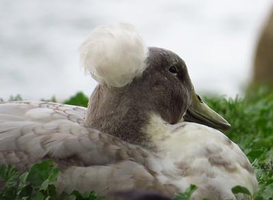 Duck (6)