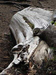 Ohanapecosh Cpgr  (Mt  Rainier NP, WA) (15)