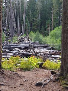 Ohanapecosh Cpgr  (Mt  Rainier NP, WA) (16)