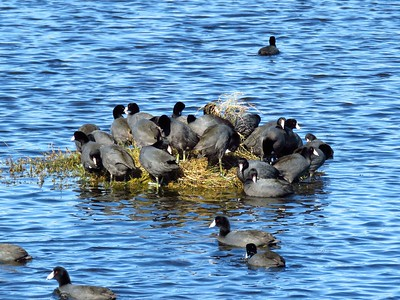 American Coot (5)