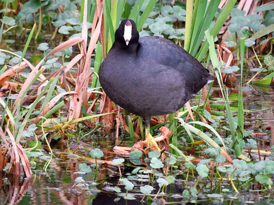 American Coot (2)