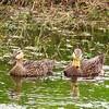Mottled Duck (1)