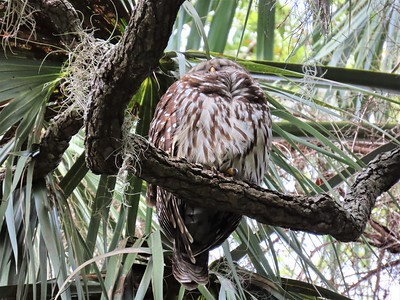 Barred Owl (1)
