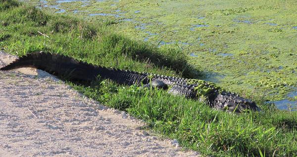 American Alligator (4)