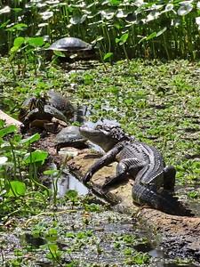 American Alligator (2)