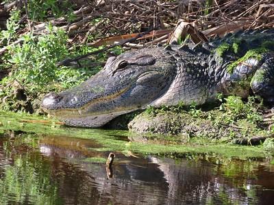 American Alligator (3)