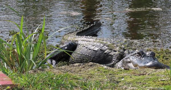 American Alligator (1)