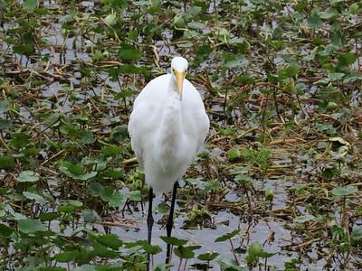 Egret (1)