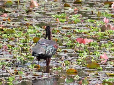 Glossy Ibis (1)