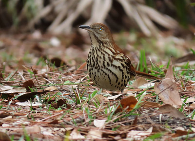 Brown Thrasher (1)