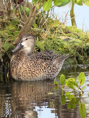 Blue-winged Teal (2)