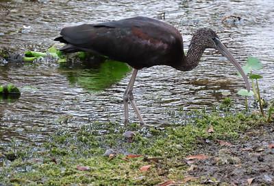 Glossy Ibis (2)